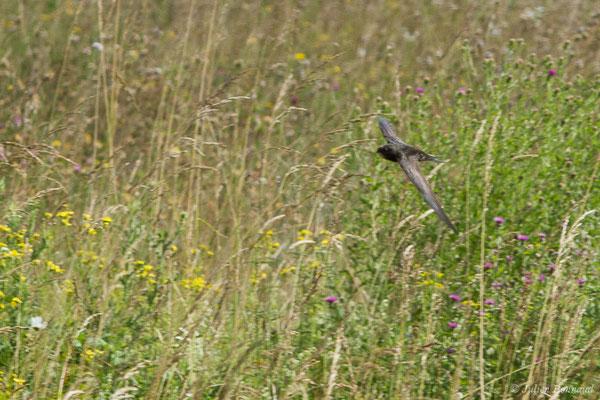 Martinet noir (Apus apus) (Azereix (65), France, le   2020)