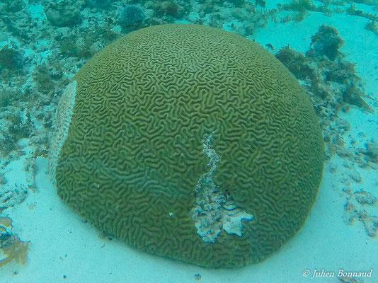 Corail cerveau (Platygyra daedalea)