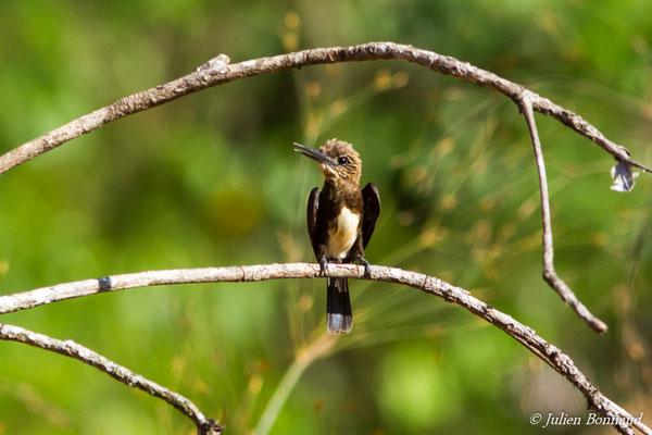 Jacamar brun (Brachygalba lugubris) (adulte) (Elysée, le 23/09/2016)