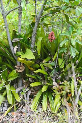 Aechmea melinonii (Centre Spatial Guyanais, Kourou, le 12/05/2014)