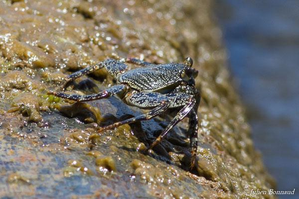 Cirique de mer (Grapsus tenuicrustatus)