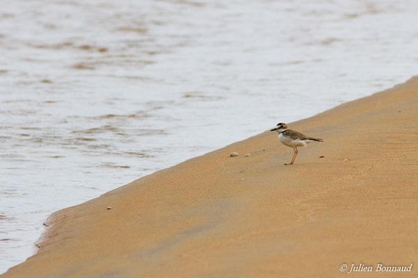Pluvier d'Azara (Charadrius collaris) (adulte) (Plage des Brésiliens, Remire-Montjoly, le 11/03/2017)