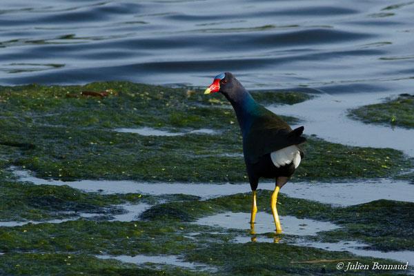 Talève violacée (Porphyrio martinicus) (adulte) (lac Marie-Claire, Kourou, le 04/12/2016)