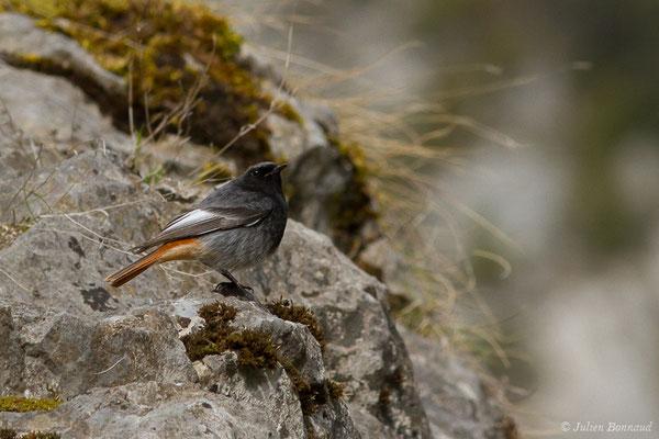 Rougequeue noir (Phoenicurus ochruros) (mâle adulte) (fort du Portalet, Etsaut (64), France, le 26/03/2021)