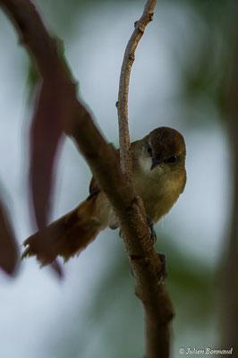 Synallaxe à gorge jaune (Certhiaxis cinnamomeus) (juvénile) (marais Leblond, Cayenne, le 26/09/2017)