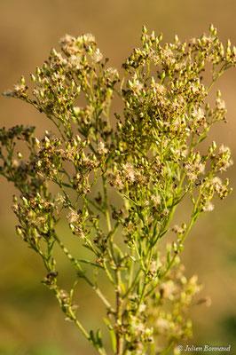 Vergerette à fleurs nombreuses (Erigeron floribundus) (Oroix (65), France, le 08/10/2017)