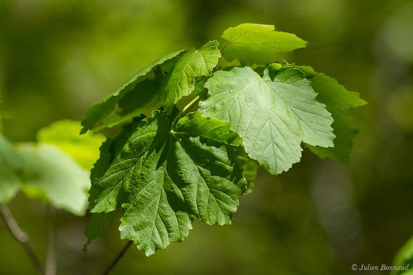 Érable à feuilles d'obier (Acer opalus) (Etsaut (64), France, le 06/05/2019)