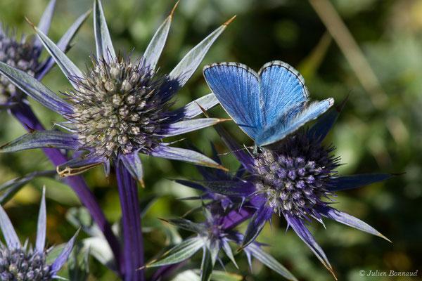 Azuré bleu-céleste, Bel-Argus, Argus bleu céleste (Lysandra bellargus) (Lac d'Anglas, Gourette (64), France, le 30/09/2018)