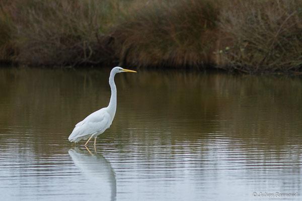 Grande Aigrette (Ardea alba) (immature ou adulte en plumage internuptial) (réserve ornithologique du Teich (33), France, le 23/01/2018)