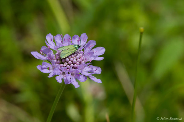 Turquoise  (Jordanita sp.) (Le Bastan de Sers, Sers (65), France, le 29/06/2018)