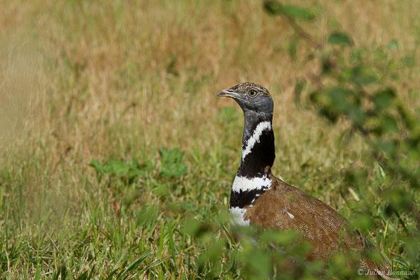 Outarde canepetière – Tetrax tetrax (Linnaeus, 1758), (Zoodyssée, Chizé (79), France, le 12/06/2021)