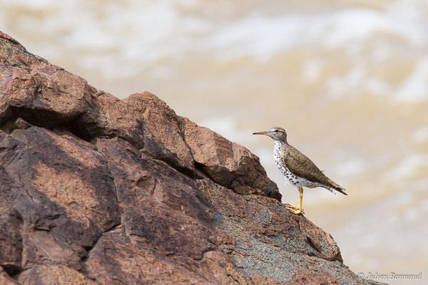 Chevalier grivelé (Actitis macularius) (adulte, plumage nuptial) (Route des plages, Remire-Montjoly, le 29/03/2017)