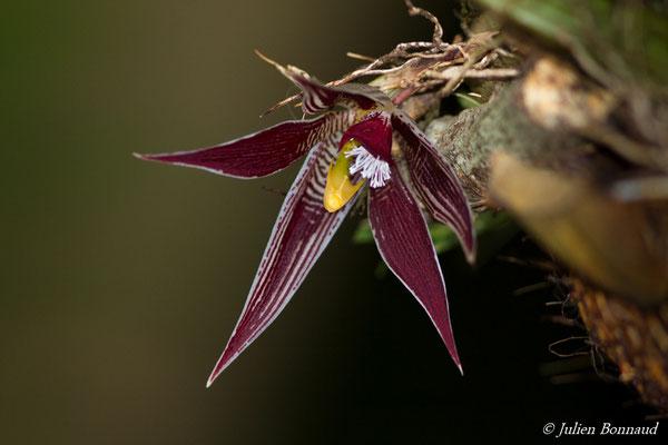 Paphinia cristata (Saint-Pierre, Saint-Laurent-du-Maroni, le 13/02/2017)