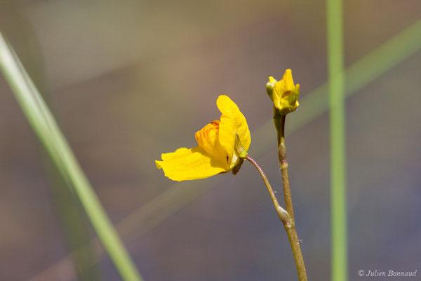 Utriculaire citrine – Utricularia australis R.Br., 1810, (Mézières-en-Brenne (36), France, le 13/06/2021)