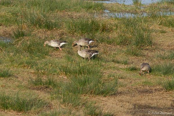 Oie cendrée – Anser anser (Linnaeus, 1758), (réserve des barthes de Saint-Martin-de-Seignanx (64), France, le 19/01/2019)