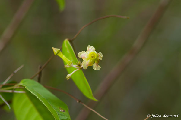 Prestonia cayennensis (Centre Spatial Guyanis, Kourou, le 20/02/2017)