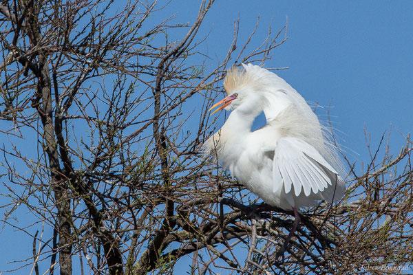 Héron garde-boeufs (Bubulcus ibis) (Parc ornithologique de Pont de Gau (13), France, le 20/02/2020)