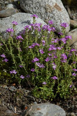 Érine des Alpes (Erinus alpinus) (Cauteret (65), France, le 08/06/2018)