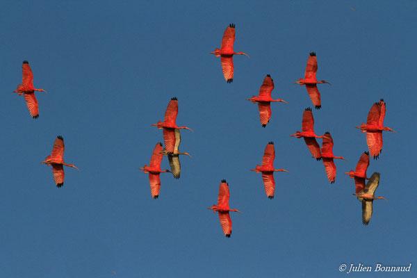 Ibis rouge (Eudocimus ruber) (Pont du Larivot, Matoury, le 09/01/2015)