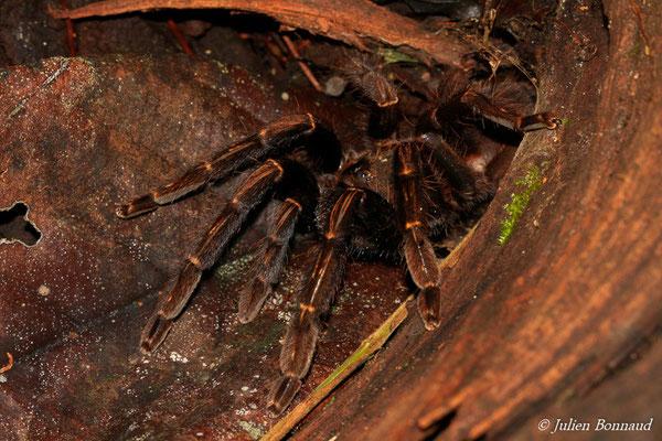 Mygale de Leblond (Theraphosa blondi) (Montagne des Singes, Kourou, le 27/06/2015)