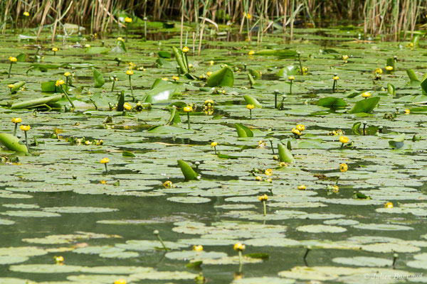 Nénuphar jaune – Nuphar lutea (L.) Sm., 1809, (Rosnay (36), France, le 18/06/2021)