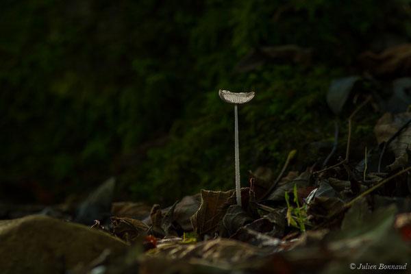 Coprin cendré (Coprinopsis cinerea) (Laruns (64), France, le 09/10/2020)