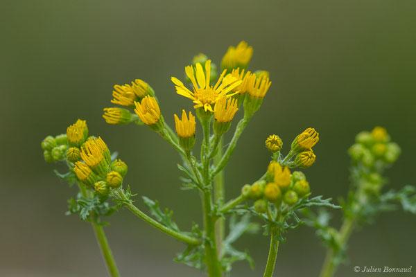 Herbe de saint Jacques (Jacobaea vulgaris) (Aulon (31), France, le 03/05/2019)