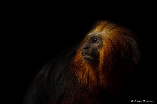 Tamarin-lion à tête dorée ou Singe-lion à tête dorée (Leontopithecus chrysomelas)