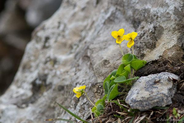 Pensée à deux fleurs ou Violette à deux fleurs (Viola biflora) (Station de ski de Gourette, Eaux Bonnes (65), France, le 15/06/2020)