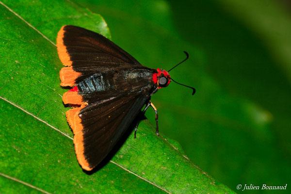 Pyrrhopyge amyclas (Sentier du Rorota, Remire-montjoly, le 13/06/2015)