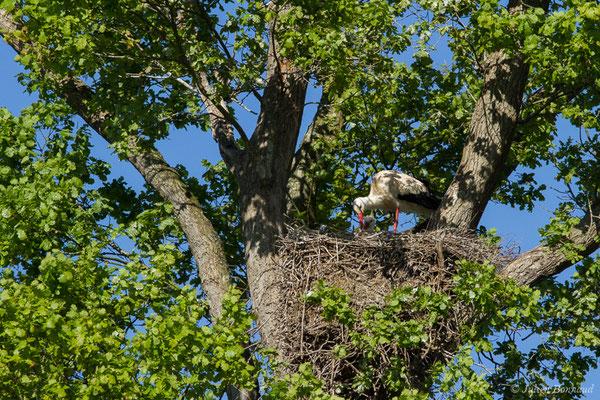 Cigogne blanche (Ciconia ciconia) (Candresse (40), France, le 17/04/2018)