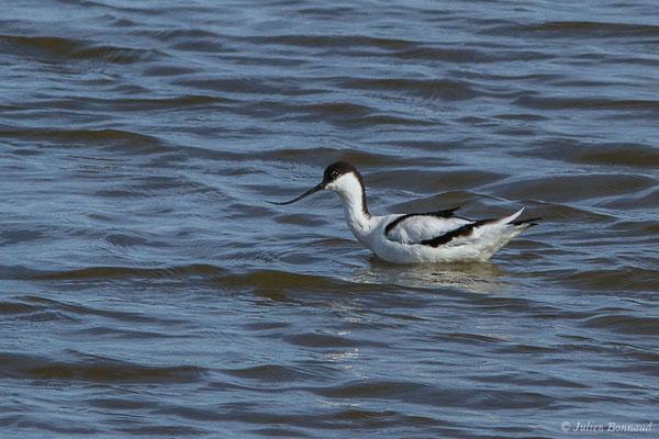Avocette élégante – Recurvirostra avosetta Linnaeus, 1758, (adulte) (Réserve ornithologique du Teich (33), France, le 15/02/2021)
