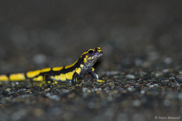 Salamandre tachetée – Salamandra salamandra terrestris (Lacepède, 1788), (subadulte) (Parbayse (64), France, le 27/04/2021)