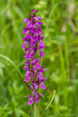 Orchis mâle (Orchis mascula) (Sers, Sers (65), France, le 29/06/2018)
