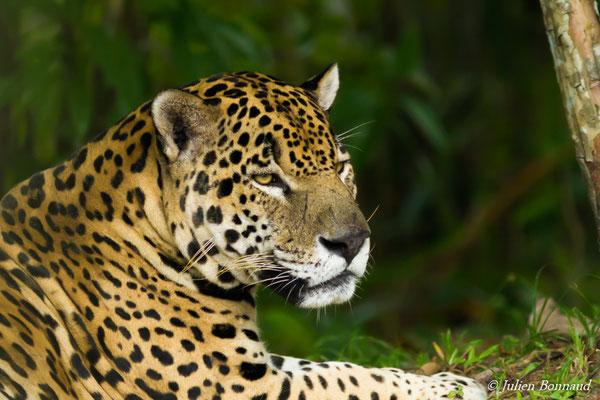 Jaguar (Panthera onca) (Zoo de Guyane, le 14/08/2016)