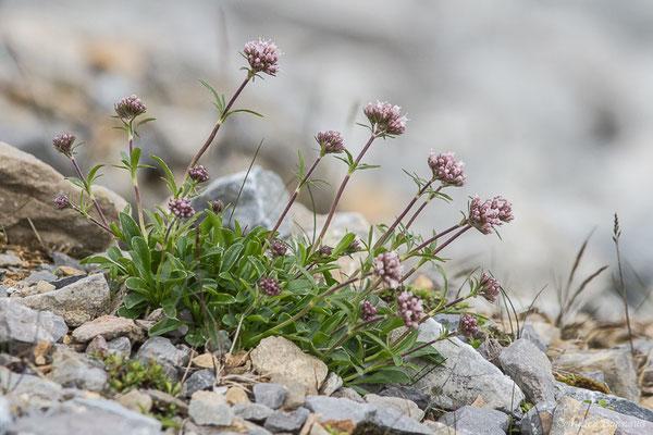 Valériane à feuilles de Globulaire (Valeriana apula) (Station de ski de Gourette, Eaux Bonnes (65), France, le 15/06/2020)