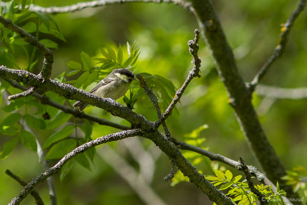 Mésange noire (Periparus ater) (Sers (65), France, le 07/06/2019)