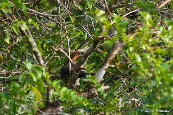 Ortalide motmot (Ortalis motmot) (adulte) (Centre Spatial Guyanais, Kourou, le 09/01/2017)