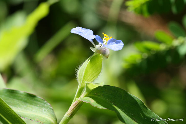 Commelina erecta (Remire-Montjoly, le 11/12/2014)