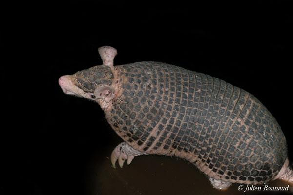 Petit Cabassou (Cabassous unicinctus) (Centre Spatial Guyanais, Kourou, le 20/11/2014)