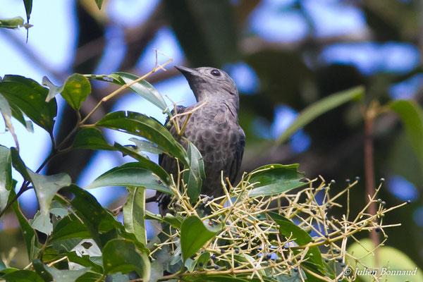 Cotinga de Cayenne (Cotinga cayana) (femelle adulte) (Galion, le  06/06/2016)