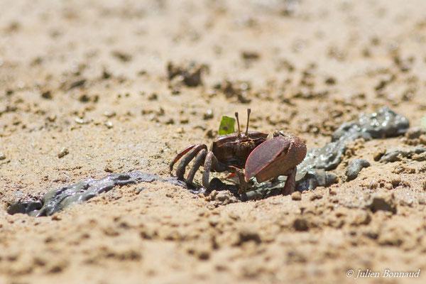 Crabe violoniste (Uca maracoani) (Dégrad de Guatémala, le 12/03/2017)
