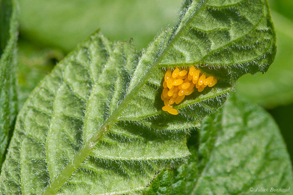 Doryphore (Leptinotarsa decemlineata) (ponte) (Parbayse (64), France, le 31/05/2019)