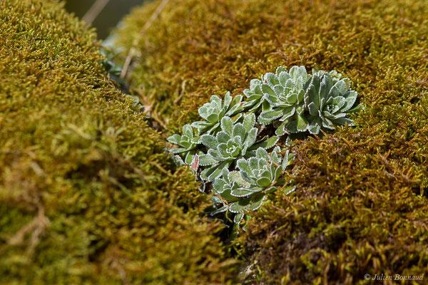 Saxifrage aizoon (Saxifraga paniculata) (fort du Portalet, Etsaut (64), France, le 26/03/2021)