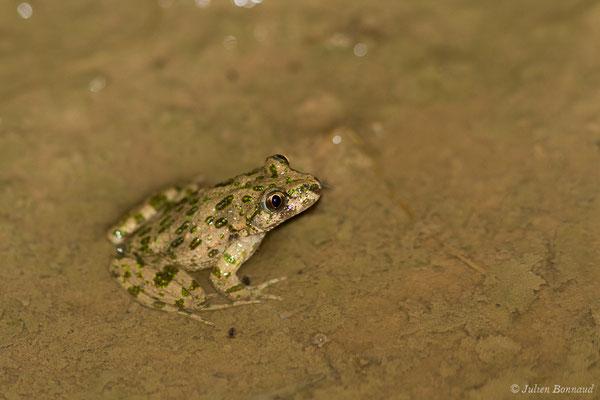 Pélodyte ponctué – Pelodytes punctatus (Daudin, 1803), (Braud-et-Saint-Louis (33), le 06/03/2018)