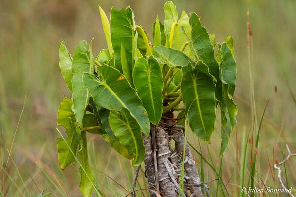 Philodendron billieriae (Centre Spatial Gutyanais, Kourou, le 17/02/2017)