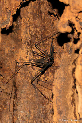 Amblypyge (Heterophrynus longicornis) (Sentier du Molokoï, Cacao, le 27/06/2015)