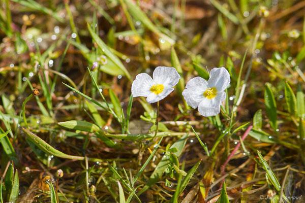 Baldellie fausse Renoncule – Baldellia ranunculoides (L.) Parl., 1854, (Belz (56), France, le 08/07/2021)