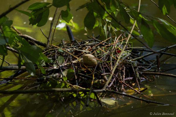 Gallinule poule-d'eau – Gallinula chloropus (Linnaeus, 1758),  (nid et œuf) (réserve ornithologique Terre d'Oiseaux, Braud-et-Saint-Louis (33), France, le 05/03/2018)