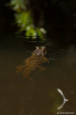 Caïman à lunette (Caiman crocodilus) (sub-adulte) (mine d'or Espérance, Apatou, le 11/05/2017)